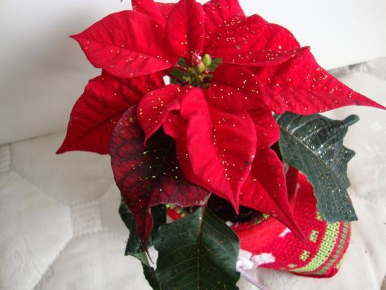Еуфорбията разгръща красотата си по Рождество Христово