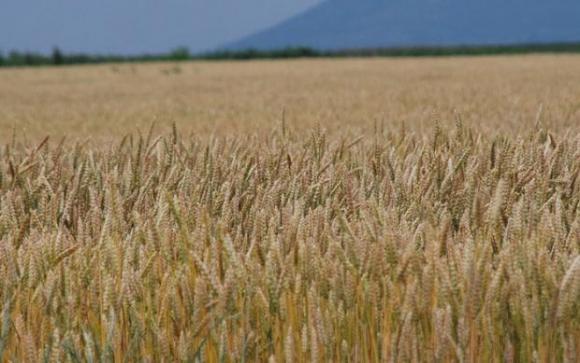 Реколтата от зърно в Русия намалява със 17 на сто