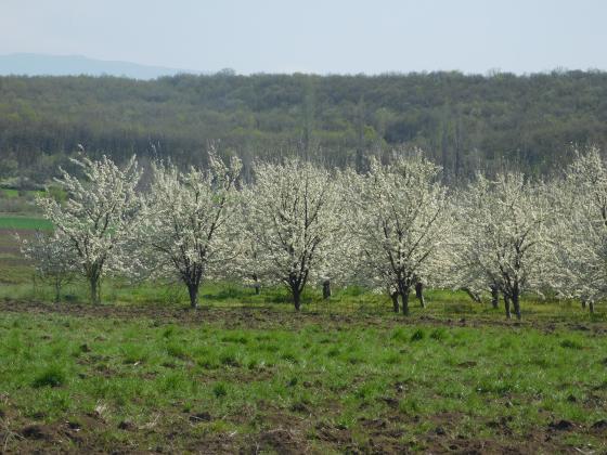 В Тутраканско се очертава нулева година за овощарите и трудна за пчеларите