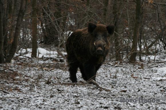 Заловиха трима ловци без разрешително с убита свиня