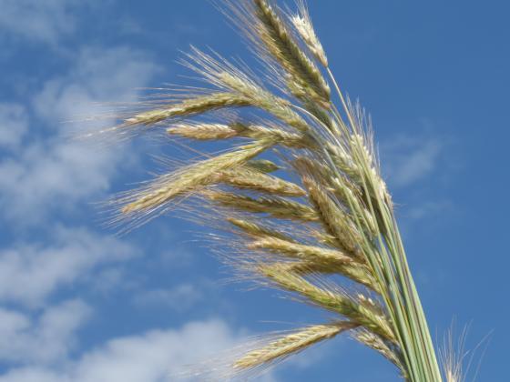 От стабилни до по-високи цени на зърнените храни в ЕС и черноморския регион