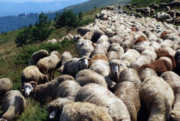Транспортът на овце в Странджанско се възстановява
