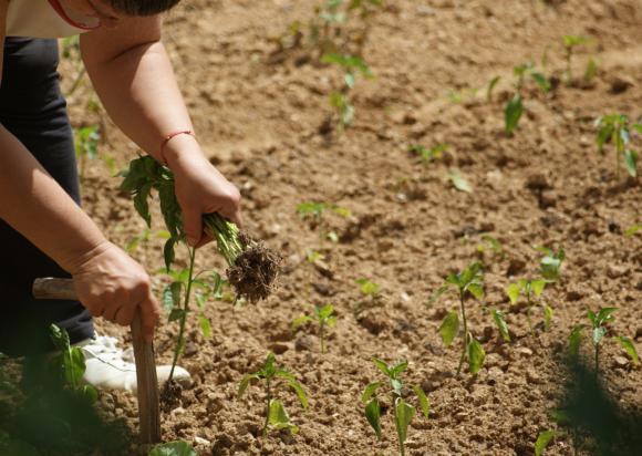 Срокове за сеитба, засаждане и температурни режими при отглеждане на ранни зеленчуци