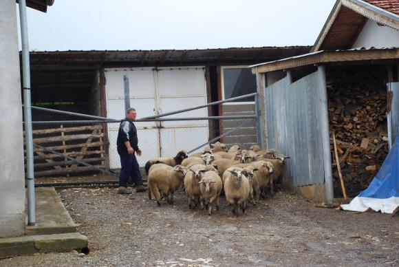 В Германия ще плащат на овцевъдите за пашата на животните