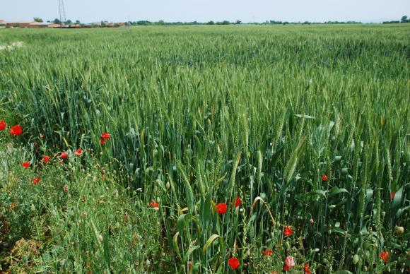 Strategie Grains очаква реколтата от зърно в ЕС да надхвърли търсенето