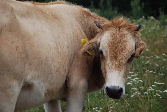 За кравите от смесени породи ще се доказват по 1 500 л вместо по 4 хил. л продадено на пазара мляко
