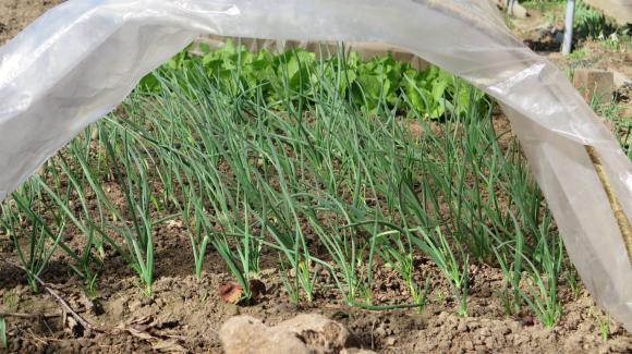 Изисквания на ранния зеленчук към подхранването