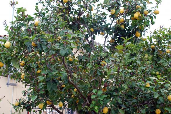 Грижи за лимоните през зимните дни