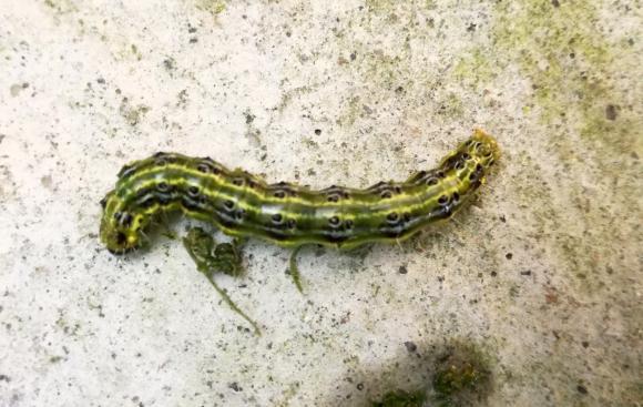 Билкови настойки и отвари срещу болести и неприятели в градината