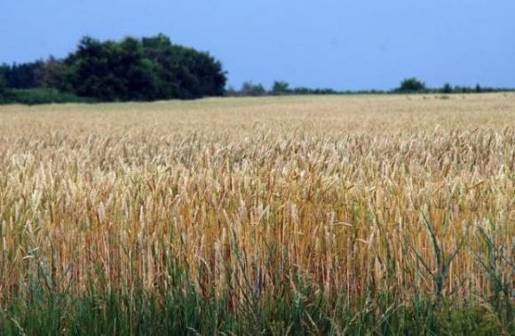 Лек спад в цените на пшеницата на Софийската стокова борса