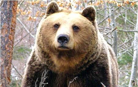 Гладна мечка с мече нападна пчелин в Смолянско