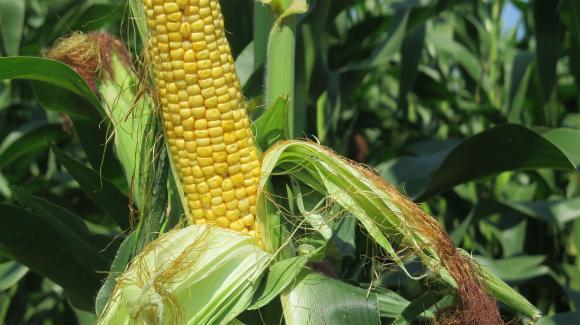Румъния задмина Франция и се изкачи на първо място в ЕС по добив на царевица