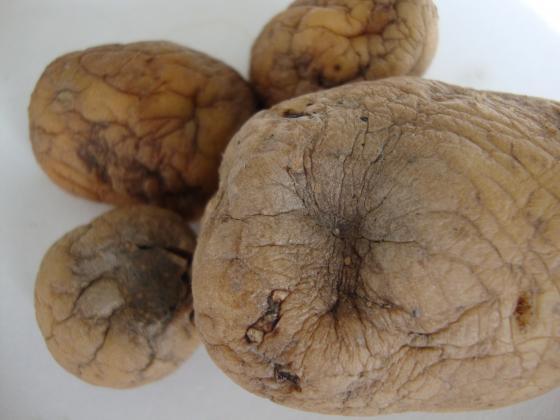 Мерки срещу сухото гниене по картофите