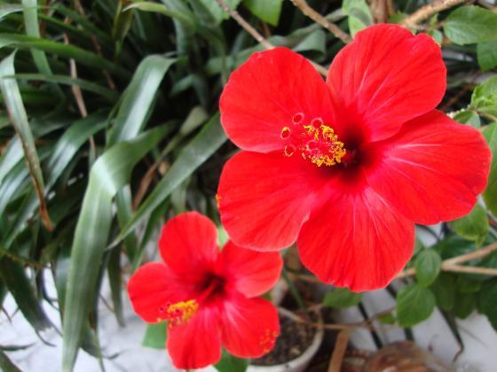 Хибискус – рубинът на вашия дом