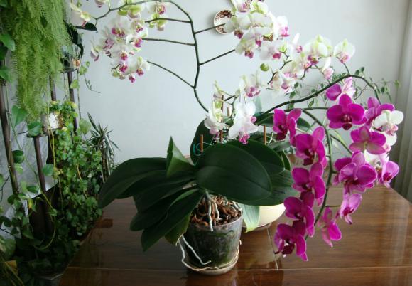 Орхидеите да не се поливат с лейка
