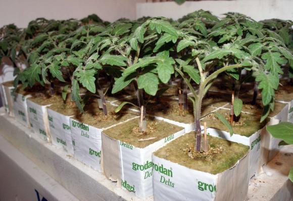 Разсадът с домати не понася пренаторяване