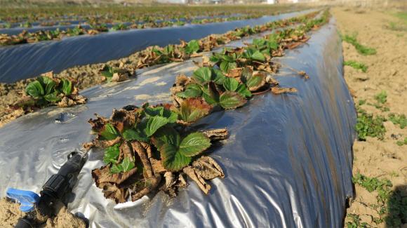 Почистите насажданията от лъжливите ягоди