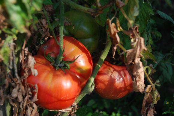 Ако започнат да ви съхнат листата на доматите
