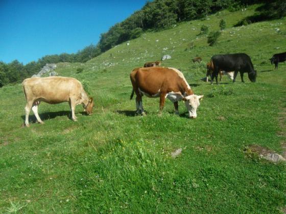 Животновъдството в ЕС - какви са тенденциите при отглеждането на животни и производството на месо