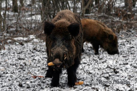 Бавно и полека се роят случаите на Африканска чума при дивите свине