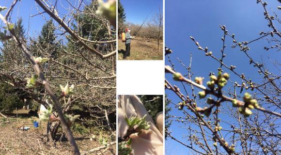 Растителна защита на овощните дървета в началото на вегетацията.