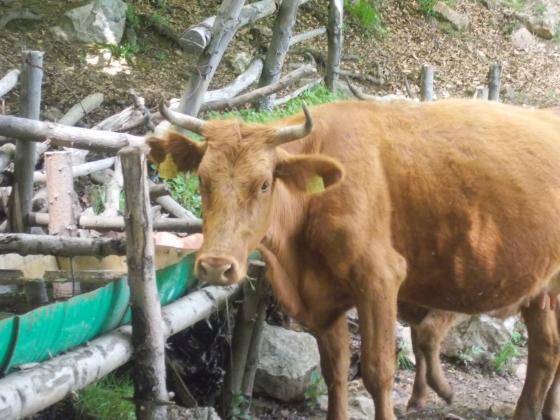 Бактериални и вирусни болести по говеда в Ямболско заради лоша хигиена