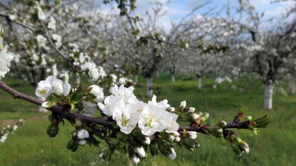 Пролетна защита на ябълката от цветояди и струпясване