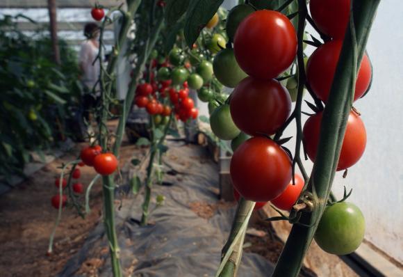 Превенция на болестите по доматите през април