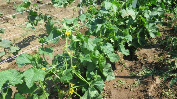 С какво да пръскаме краставички и тиквички през април