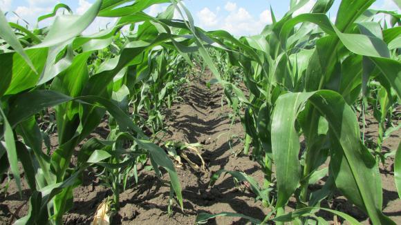 Как да се справите с широколистните плевели в царевицата и то на изгодна цена?