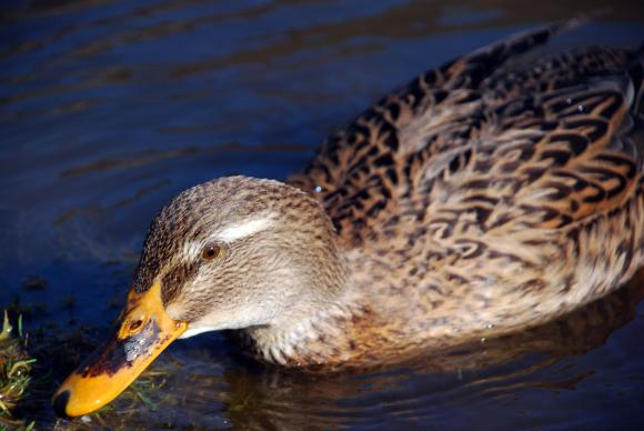 Нов случай на птичи грип в Ловешко