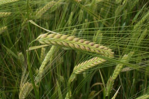 САЩ прогнозират ръст на вноса на царевица в Турция за сметка на ечемика