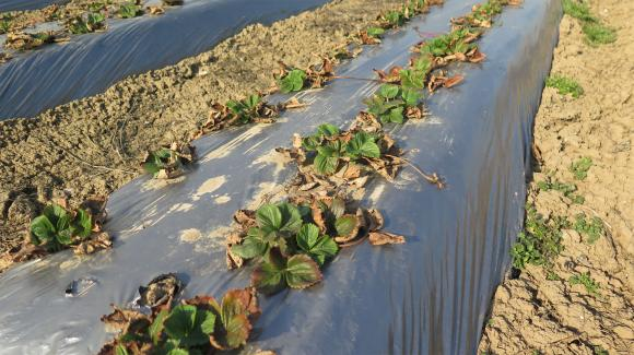 Мулчирайте около ягодите, за да не поливате