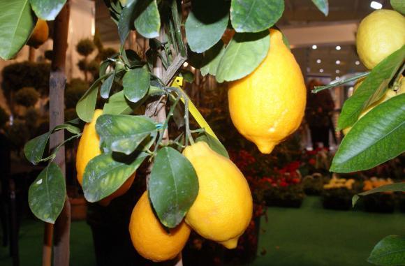 Капят листата на лимоните?