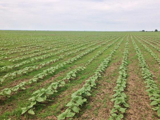 Погубената от сушата рапица се презасява с царевица и слънчоглед