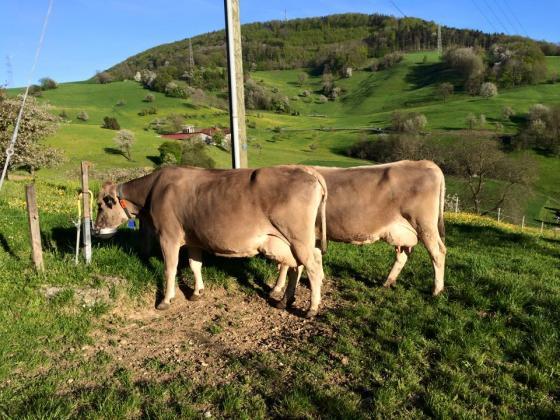 Мерки за избягване на заболявания при добитъка в преходния период