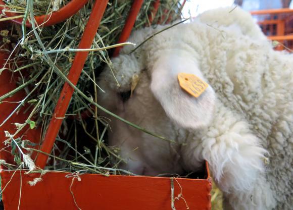 НОКА: Агнета се купуват от фермите по 6 лева за килограм, от кланиците – по 11 лв.