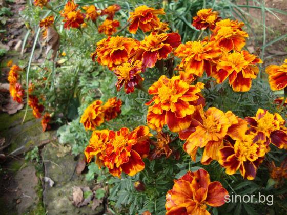 Цветята в зеленчуковата градина могат да помогнат за увеличаване на добивите
