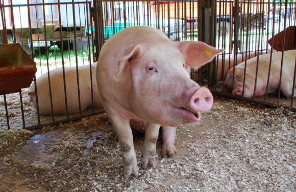 Африканската чума ще свие световното производство на свинско с 4 на сто