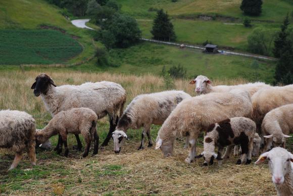 """Осмият национален събор на овцевъдите с фокус върху """"Изберете българското"""""""