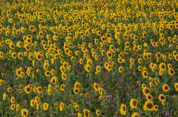 Турция понижи минималната цена за вноса на слънчоглед