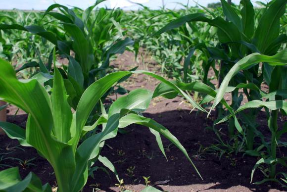 Ранната сеитба на царевицата се отплаща на украинските фермери