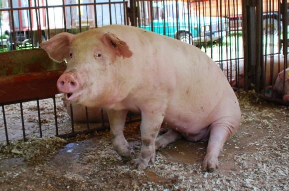 Китайците плащат за свински зурли и опашки колкото австрийците за месо за шницел