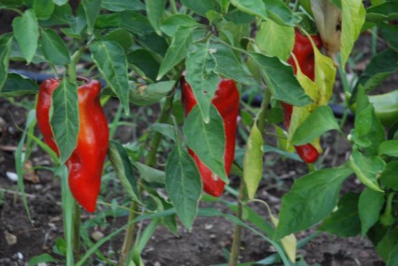 Да засадим пипера в градината