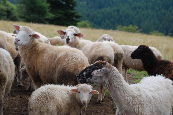 Френски фермер записа овцете си за ученици