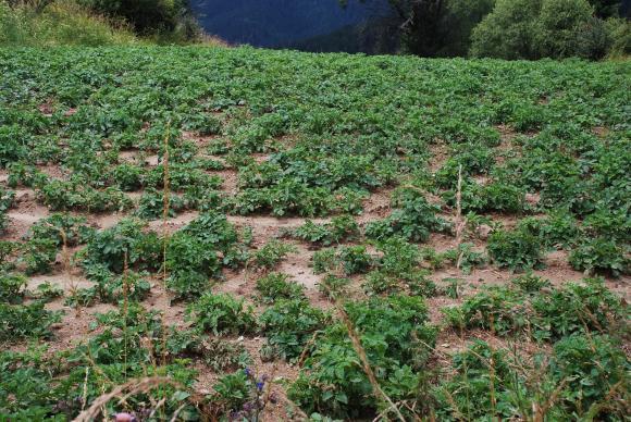 Да откъсваме ли цветовете на картофите за по-високи добиви?