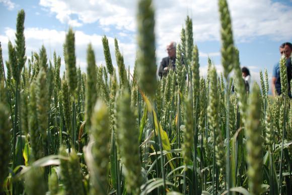 Интензивните валежи вдигат прогнозите за пшевичната реколта в основните производителки в ЕС