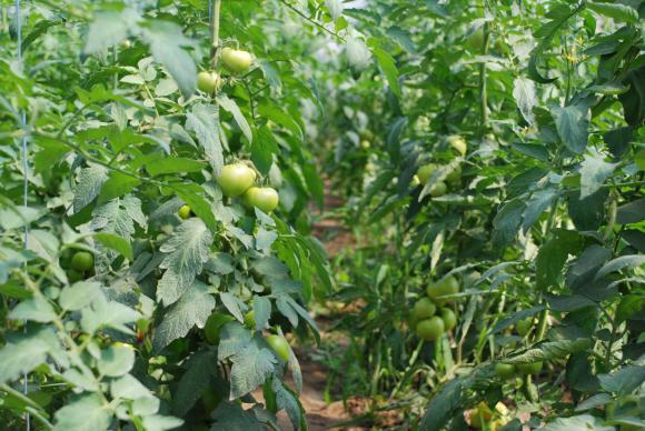 Подхранване на доматите по време и след цъфтеж