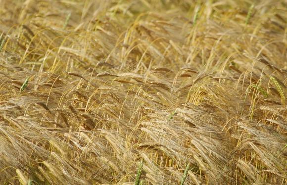 ЕК повиши отново прогнозата си за реколтата от пшеница в ЕС