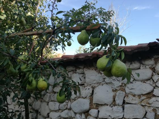 Пръскания при ябълки и круши през юни